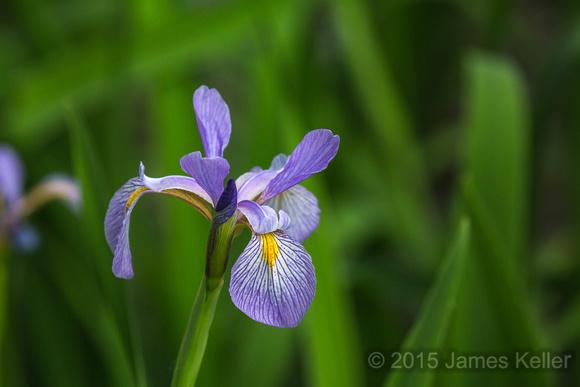 Wild Iris (LP)
