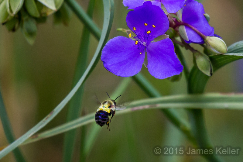 Spiderwort & Bumble Bee