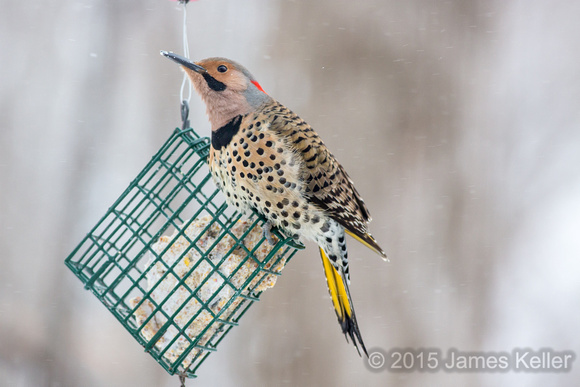 Norther Flicker (Yellow-shafted)