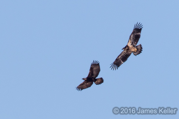Golden Eagle and Immature Bald Eagle