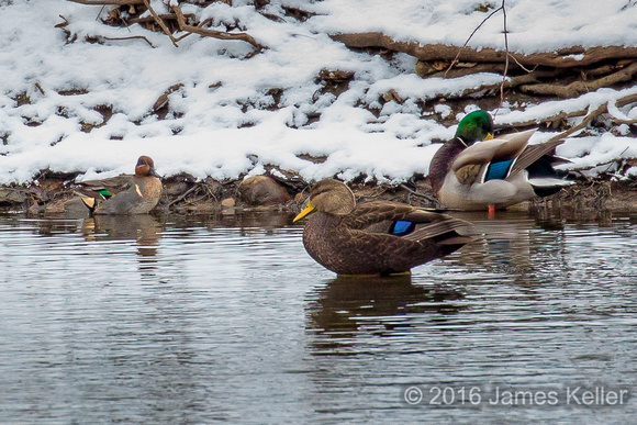 Green-winged Teal, Mallard and American Black Duck