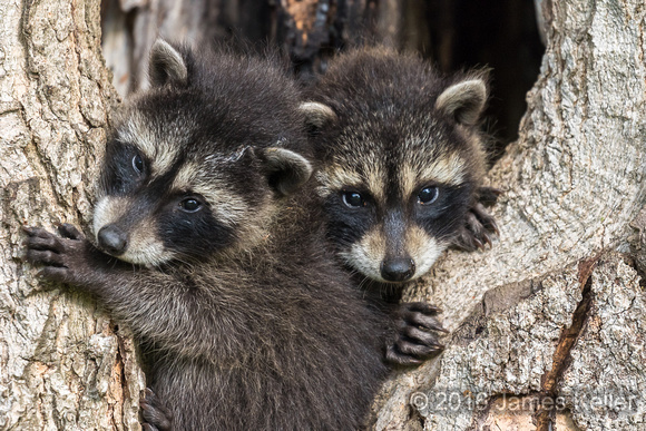 Baby Raccoon's