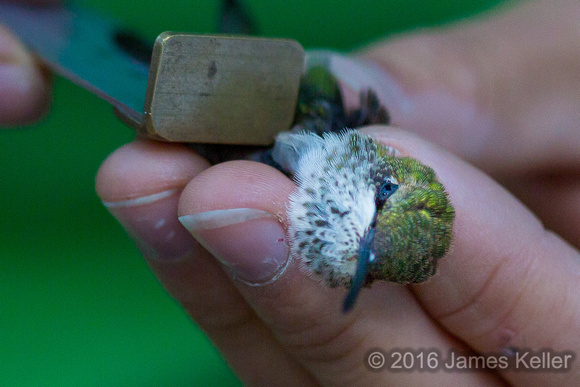 Ruby-throated Hummingbird ready for release