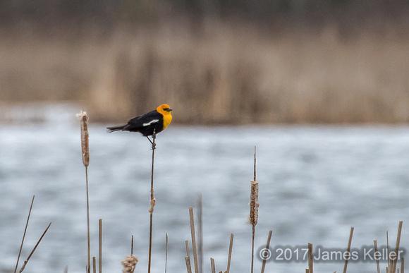Yellow-headed Blackbird 2