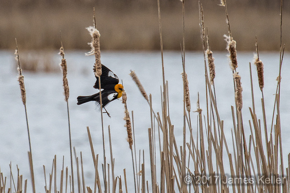 Yellow-headed Blackbird 3