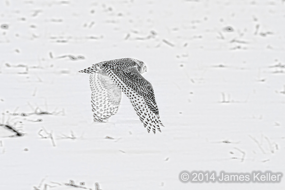 Snowy Owl B&W