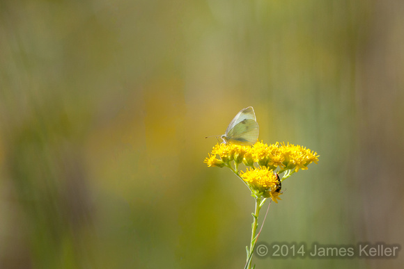 Cabbage Butterfly and Flat-topped Goldenrod