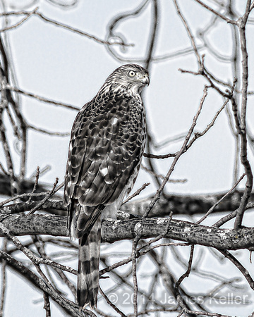 Coopers Hawk B&W