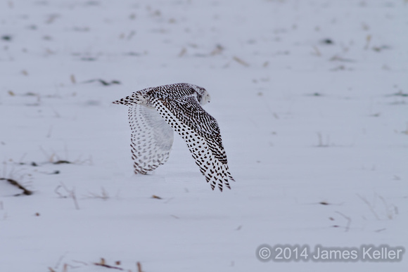 Snowy Owl-Color