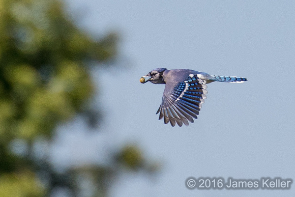 Busy Bluejay