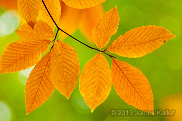 beech_leaves (1 of 1)