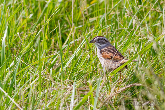 Swamp Sparrow (MR)