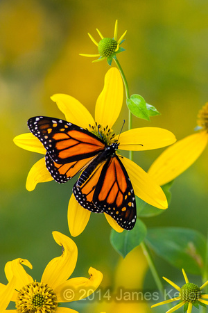 Monarch and Tall Sunflower