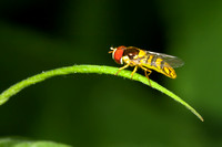 Syrphid Fly on Grass