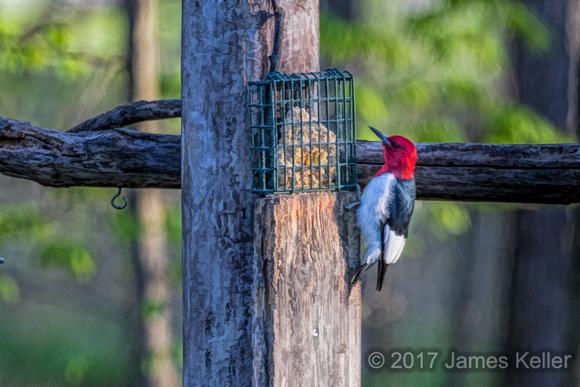 Red-headed Woodpecker 3