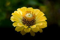 Yellow Zinia