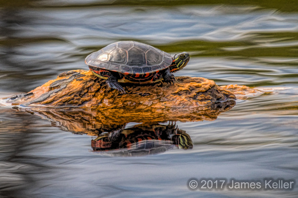 Painted Turtle 2