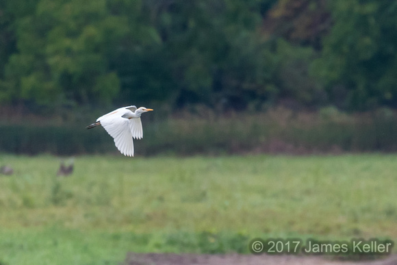 Cattle Egret 3