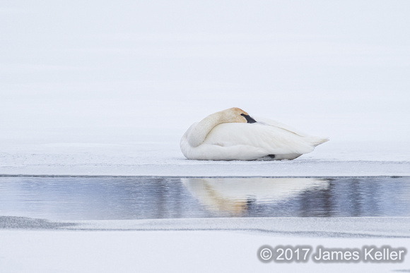 Trumpeter Swan 1b