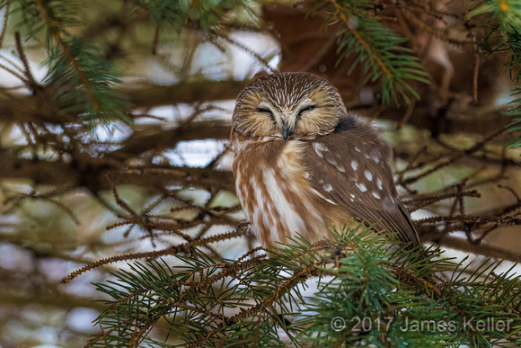 Saw-whet Owl 1