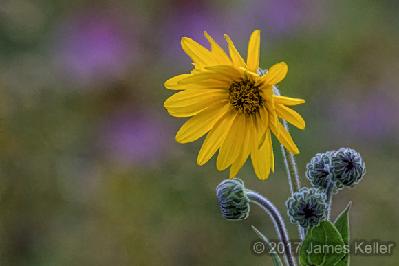 Helianthus, Wild Sunflower